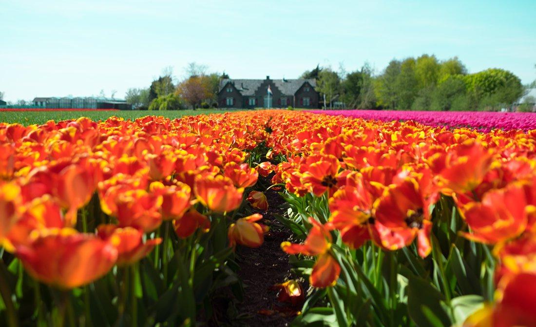 Helicopter Tour Dutch Tulip Garden