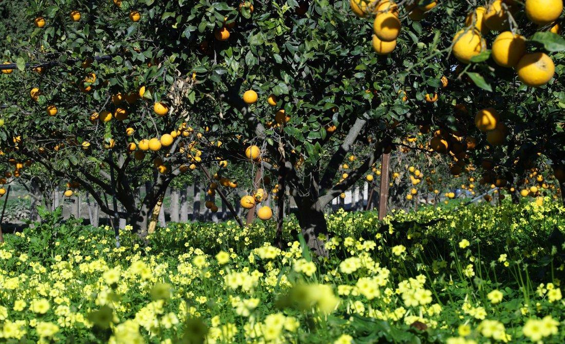 hi-sic-75611890-rfh-verdura-resort-orange-trees.jpg