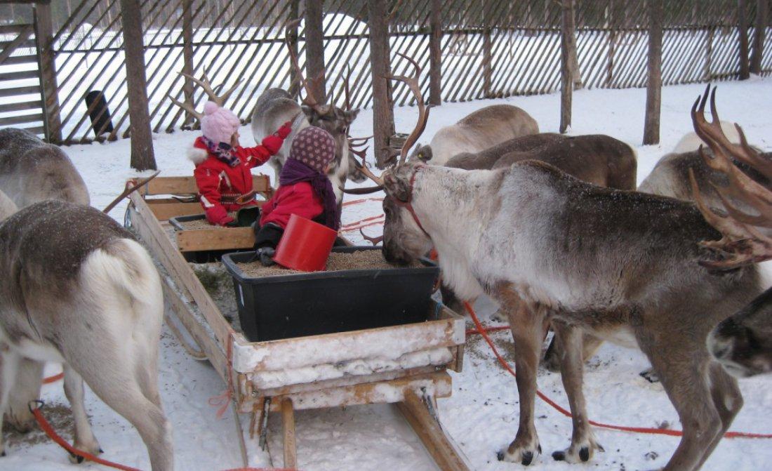 reindeer-feeding.jpg