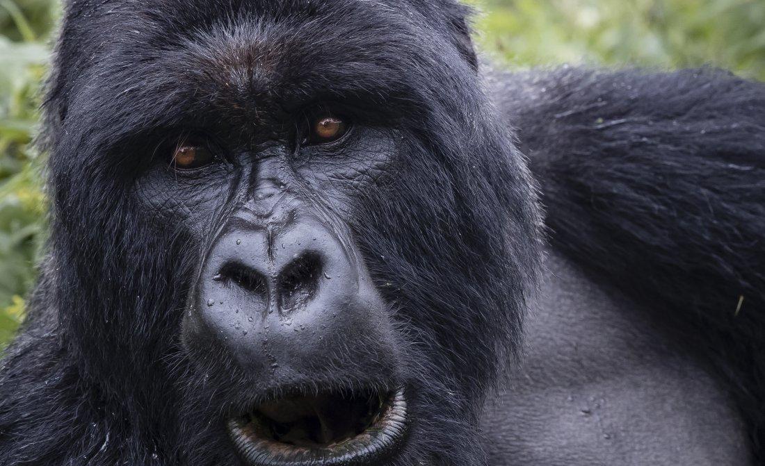 Singita Kwitonda Lodge Gorilla 9 B39i1172